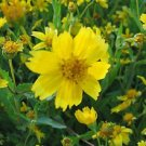 1000 Earlybird Nyger, Nyjer Guizotia Abyssinica  Flower Seeds