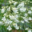 100 heirloom Foxglove Penstemon digitalis ( Beard Tongue) flower Seeds