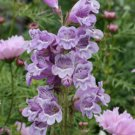 100 Variety Penstemon Cobaea Showy Beardtongue Seeds