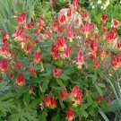 100 Heirloom Aquilegia Canadensis Columbine Seed