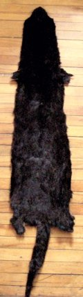 Have a Medium Mammal Fur Pelt Taxidermy Tanned for Rug Wall Decor