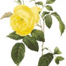 Redoute's Yellow Tea Rose Pattern Chart Graph