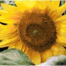 Cheerful Sunflower Pattern Chart Graph