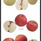 Apple Varieties Pattern Chart Graph