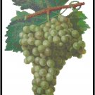 Clairette Wine Grapes Pattern Chart Graph