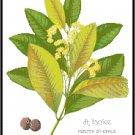 Allspice Spice Botanical Pattern Chart Graph