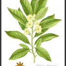 Star Anise Spice Botanical Pattern Chart Graph