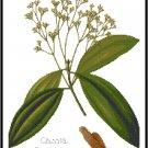 Cassia Cinnamon Spice Botanical Pattern Chart Graph