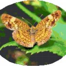 Mylitta Crescent Butterfly Cross Stitch Pattern Chart Graph