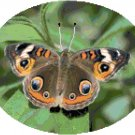 Common Buckeye Butterfly Cross Stitch Pattern Chart Graph