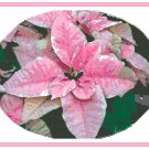 Pink Poinsettia Cross Stitch Pattern Chart Graph