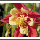 Blazing Columbine Bloom Pattern Chart Graph