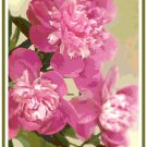 Breathtaking Peony Bouquet Pattern Chart Graph