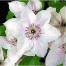 Pearl White Clematis Pattern Chart Graph