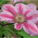 Deep Rose Striped Laveder Pink Clematis Pattern Chart Graph