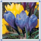 Blue and Yellow Crocus Pattern Chart Graph