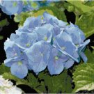 Gorgeous Blue Hydrangea Bloom Pattern Chart Graph