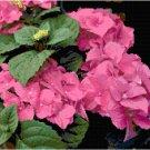 Striking Raspberry Colored Hydrangeas Pattern Chart Graph