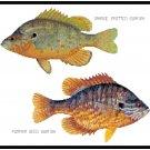 Orange Spotted Sunfish and Pumpkin Sunfish Pattern Chart Graph