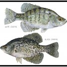 White and Black Crappie Pattern Chart Graph