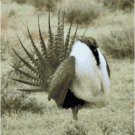 Greater Sage Grouse Pattern Chart Graph