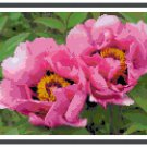 Pink Fusion Peonies Cross Stitch Pattern Chart Graph