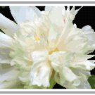 Ivory Silk Peony Cross Stitch Pattern Chart Graph