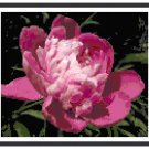 Royal Rose Peony Cross Stitch Pattern Chart Graph