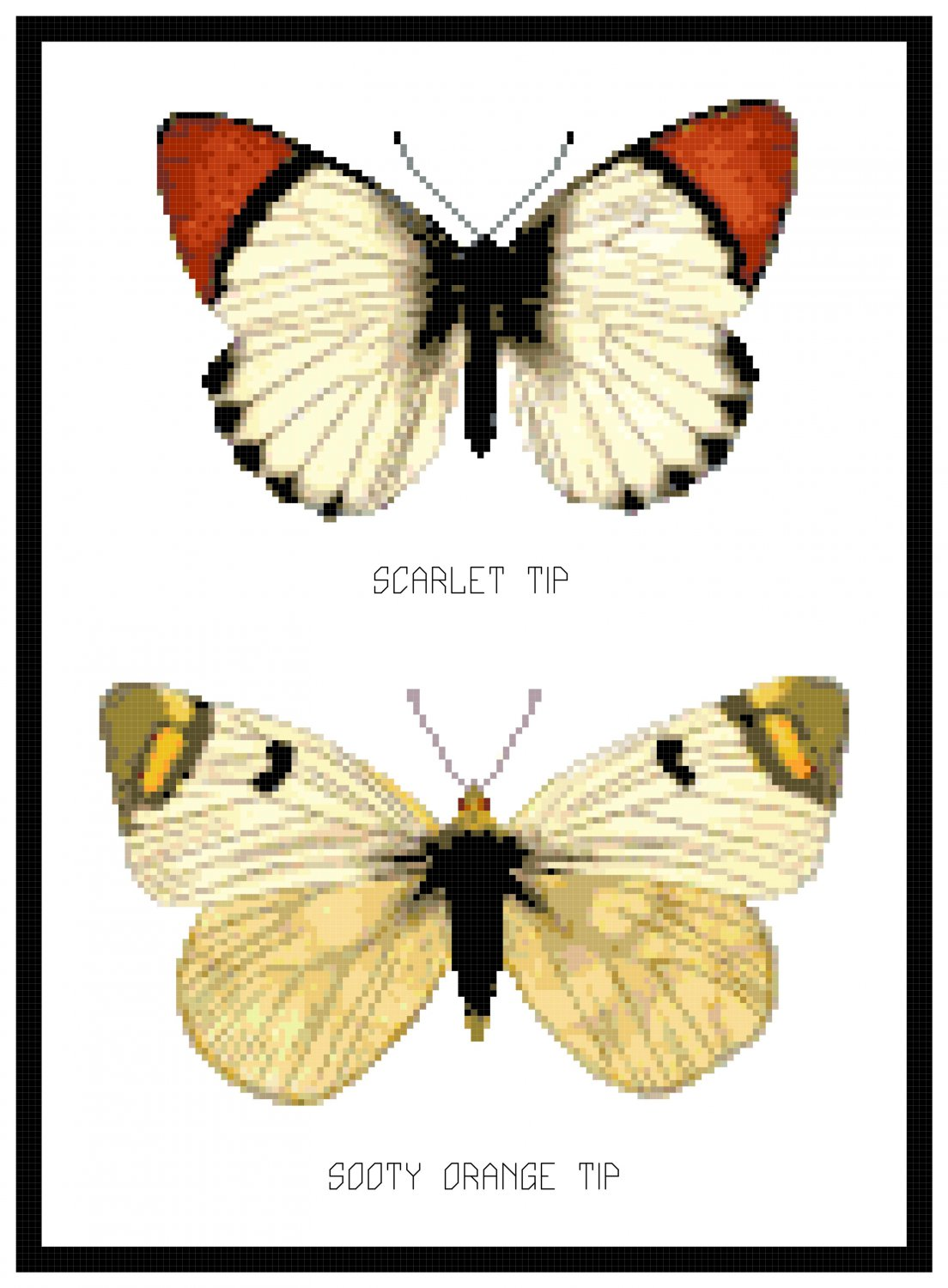 Scarlet Tip and Sooty Orange Tip Butterflies Botanical Pattern Chart Graph