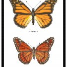 Monarch and Viceroy Butterflies Pattern Chart Graph