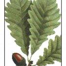 Chestnut White Oak Leaves Botanical