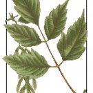 Box Elder Leaves Botanical