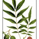 Bitternut Hickory Leaves Botanical