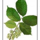 American Elm Leaves Botanical