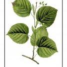 American Basswood Leaves Botanical