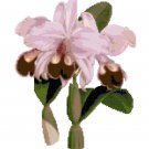 Ruby Lipped Style Orchid Botanical