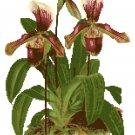 Woodland Lady Slipper Orchid Botanical