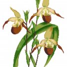 Browny Lady Slipper Orchid Botanical