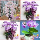 free ship hydroponic orchid seeds,indoor flowers bonsai four seasons,Phalaenopsis Orchids   40 seed