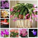 free ship  Zygocactus truncatus,Schlumbergera seeds,Indoor potted plants, green plants   10 seeds s