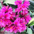 200 Pcs  Packing Lovely Dendrobium Tree Seeds Bonsai Potted Flower Seed Red Orchid Flowers High Ger