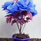 Rare Blue Peony Petal Seeds Multifarious Flower Bonsai Outdoor Decoration Garden Viewing Planting S