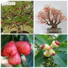 Bonsai Wax Apple Fruit Seed Delicious Non Gmo Semente De Frutas Tropicais Tree Seeds Courtyard Orna