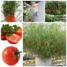 Climbing Plant Tomato Seeds Outdoor Blooming Ornaments Plants Sweet Fruit Vegetable Tree Tohumlar V