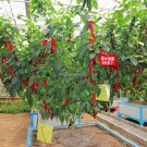 Rare Chili Chilli Giant Tree Seeds, Hot Pepper Capsicum Sweet Vegetable Seeds Chile Bonsai Tree Flo