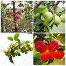 Rare Crab Apple Excellent Bonsai Seeds Malus Sargentii Fresh Sweet Delicious Fruits Seeds Professio