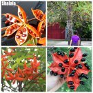 Chinese Sterculia Nobilis Seeds Sterculia Lanceolata Flower Seeds Home Garden Bonsai Blooming Plant