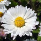 Chamomile Flower Seeds Fragrant Bonsai Perennial Garden Flowers Herbs Plant 100 Particles  Lot Can