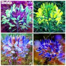 Charming Cleome Spinosa Flower Seeds Of Perennial Garden Flowers Ornamental Plants The Germination