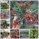 Podocarpus Macrophyllus Tree Seeds Evergreen Shrubs, Import Perennial Outdoor Mini Bonsai Seeds Pur